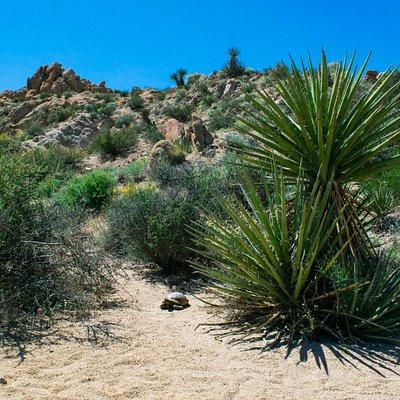 Desert Tortoise coming onto the trail.