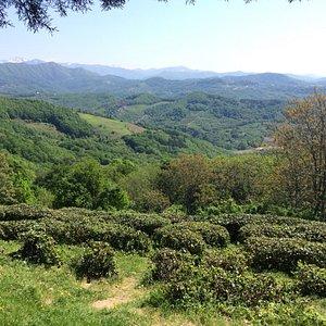 Чайная плантация в Дагомысе