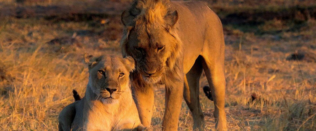 Amazing lions!