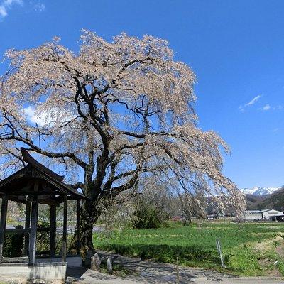 天照寺の枝垂れ桜、散り始め