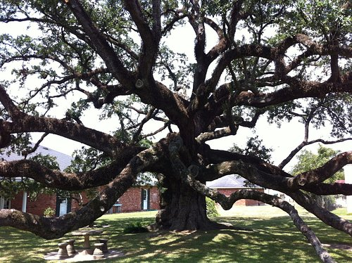 The Sallier Oak, Lake Charles, LA