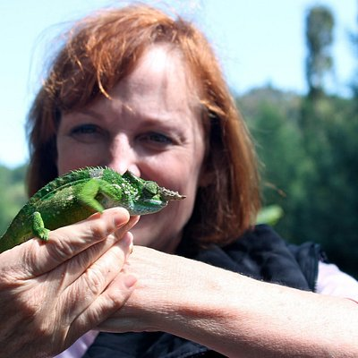Usambara two-horned chameleon