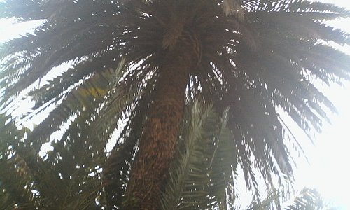 Una bellissima antica palma dei Giardini di Villa Ormond