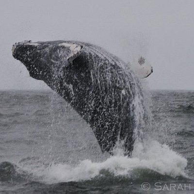 Humpback whale breaching, coast of Puñihuil, Chiloé