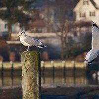 Seagulls Five Islands Park