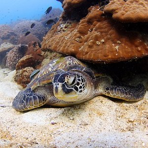 The resident turtle while diving at Koh Krok