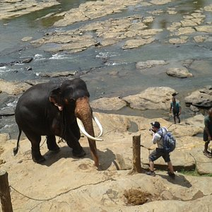 Pinnawala Elephant Orphanage ,one of the vital tourist attractions.