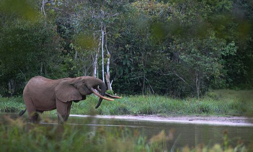 A forest elephant in Nouabale-Ndoki National Park.