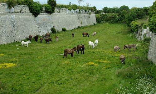 remparts est avec les ânes au pâturage