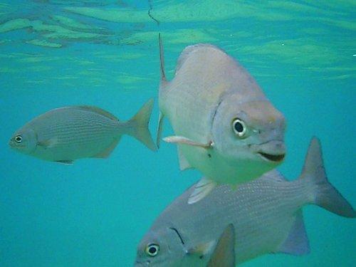 Curious White Margates