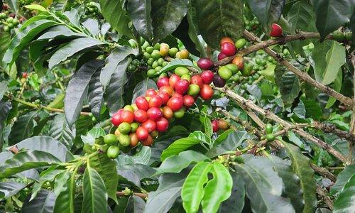 coffee, lots of coffee
