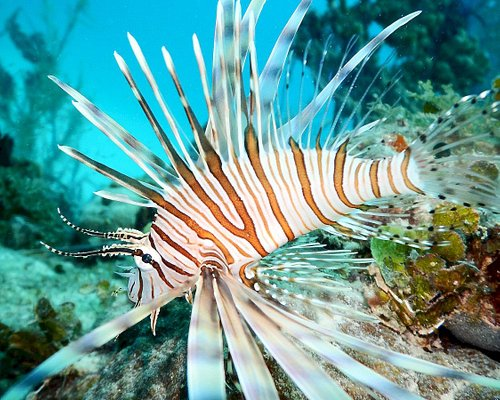 Lion fish - a beautiful creature, great fish to eat too