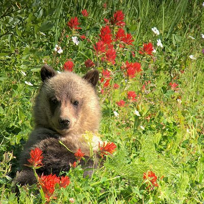 Grizzly cub in wild flowers