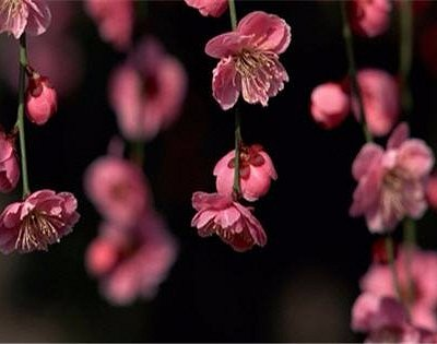 cherry blossoms as used on Hanakasumi treatment!