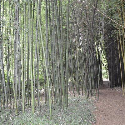 Entre les bambous géants