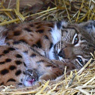 Lynx des Carpathes avec son bébé