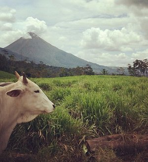 Cow and Volcano Arenal