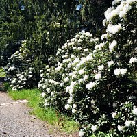 Rhododendronblüten auf dem Hutberg im Mai