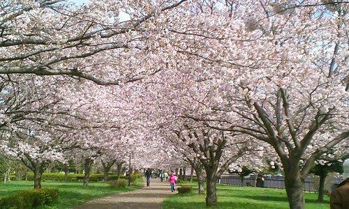 桜並木が続きます