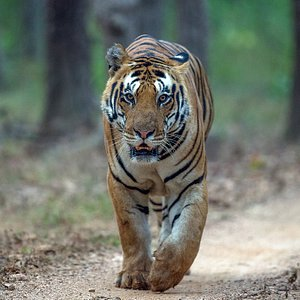 Rajaram, a male Tiger in Kanha National Park on his territorial round in Mukki zone
