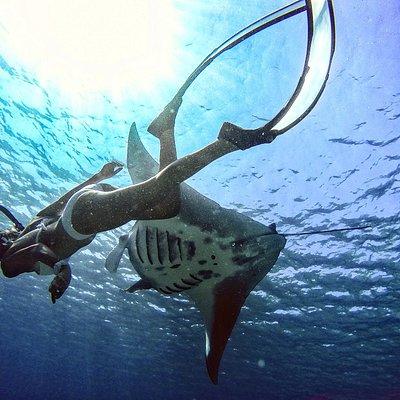 The majestic Manta Ray
