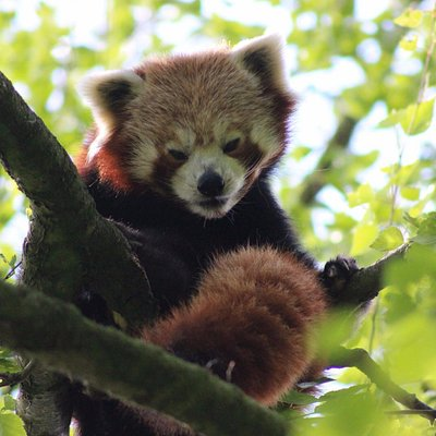 Very elusive, but it was a hot day, first time I've seen the red panda in many years.