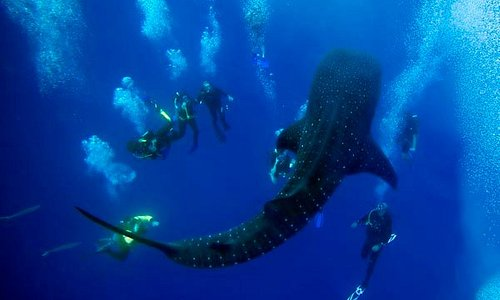 Lucky Divers with Whale Shark