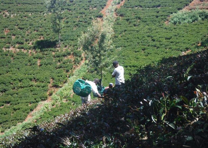 Tea Estate Kiambu Kenya