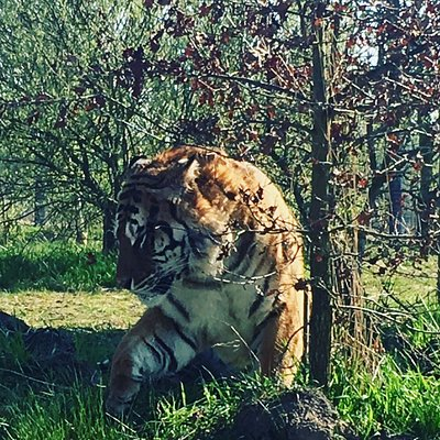 The UKs Largest collection of Tigers