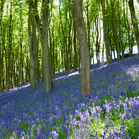 Slope covered in bluebells at south side of Prior's Wood
