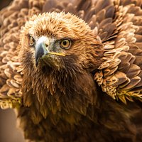 Fiddich our Golden x Steppe Eagle