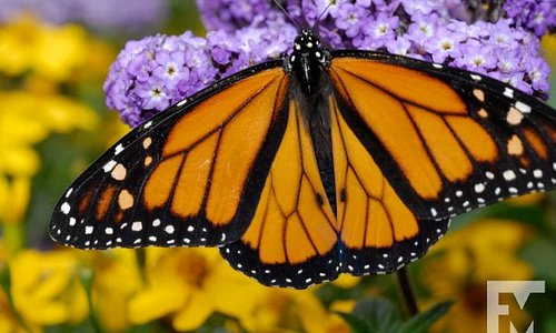 """A Monarch in the Florida Museum """"Butterfly Rainforest"""" exhibit. Photo by Jeff Gage."""