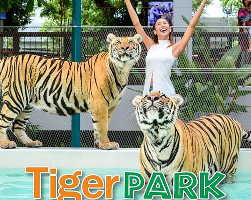 Touch & Take photo with Tigers around you