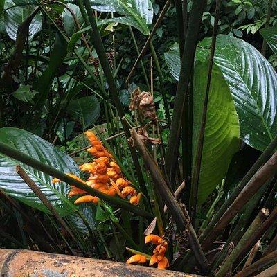 """Flor """"Heliconia Congo"""" que se ve desde el sendero"""