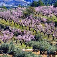 Paisaje agrario: almendros en flor de Alcalalí