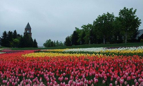 Tulips in Chushin Zone in May