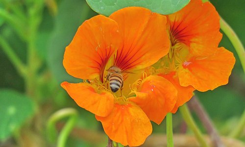 Nasturtium in Parking Lot