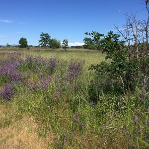 Field of flowers with view of Mt McGloughlin.  Rogue River