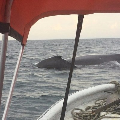 Whale watching tour.  Humpback whale mother and calf