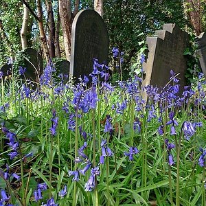 Bluebells at Wardsend
