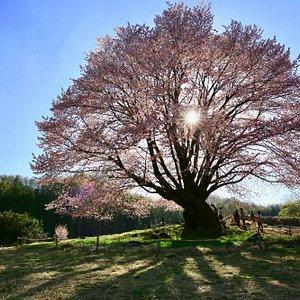 逆光の天王桜
