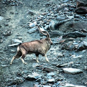 Markhor at Tooshi game reserve, Chitral .