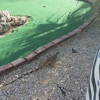 One of the upgraded holes and a passing iguana