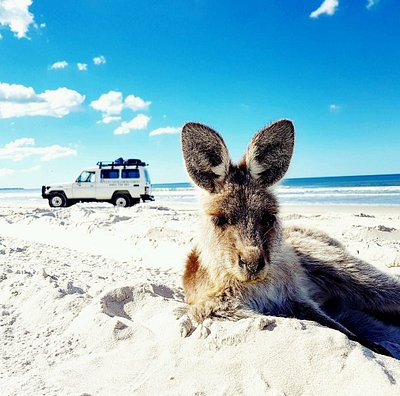 Beach Kangaroo, Eastern Grey