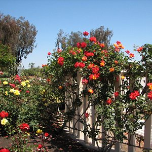 Pretty Climbing Roses