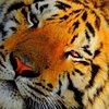 National Tiger S