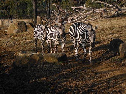 よこはま動物園ズーラシア(シマウマ)