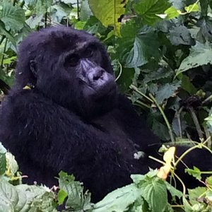 African Unique Safaris and ToursTeam tracked Nshongi group April 2017