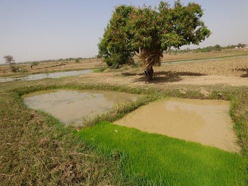 pré-implantation des germes de riz