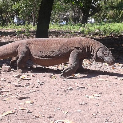 Komodo Dragon and the View in Komodo National Park